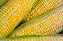 I tanti modi di mangiare il granoturco, il mais